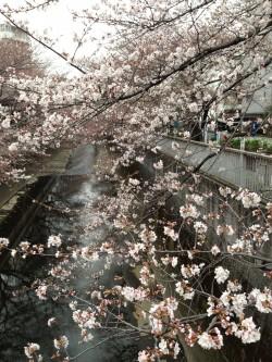 東中野神田川沿い5分咲きの桜