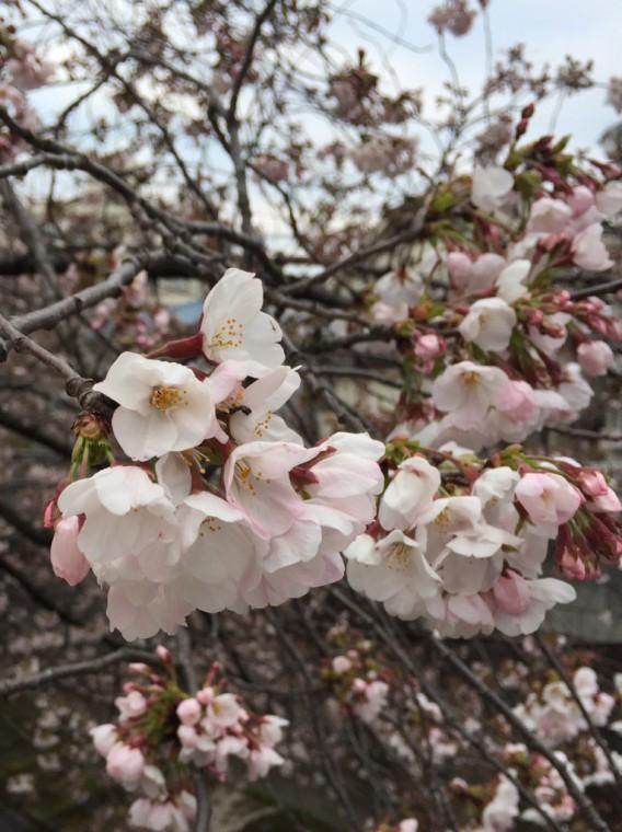【もうすぐ満開】2017年4月3日現在の東中野、神田川沿いの桜の開花状況は?