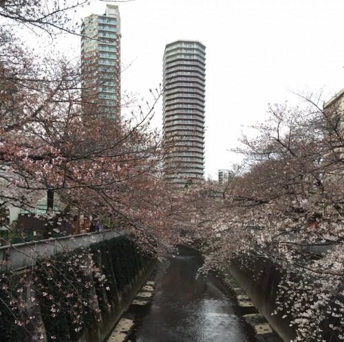 2017年4月3日の東中野神田川の桜3