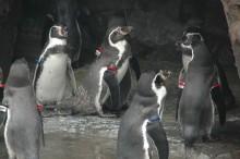 ペンギンも達休み?