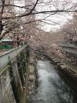 3月20日の神田川の桜