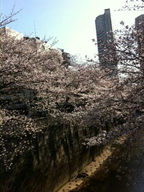 東中野神田川沿いの桜