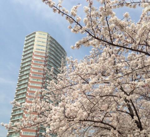 東中野・タワーマンションを見上げる桜