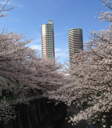 東中野・神田川の桜2013年3月29日撮影