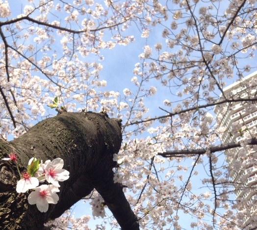 2014年4月2日の桜