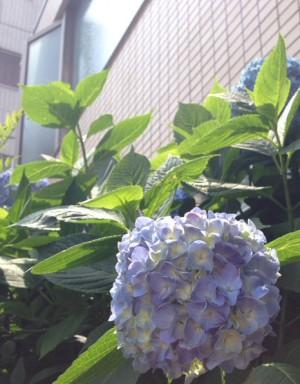 北新宿4丁目紫陽花2