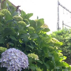 北新宿4丁目紫陽花1