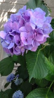 北新宿4丁目紫陽花4
