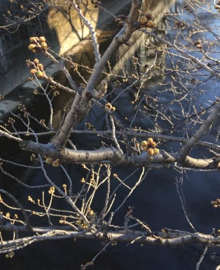 2017年3月17日の桜のつぼみ1