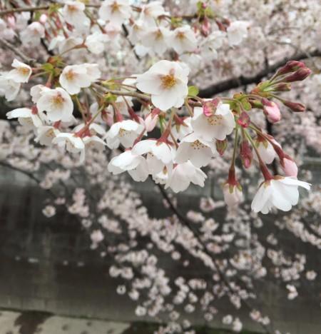 いつも紹介している「早咲きの木」はほぼ満開でした