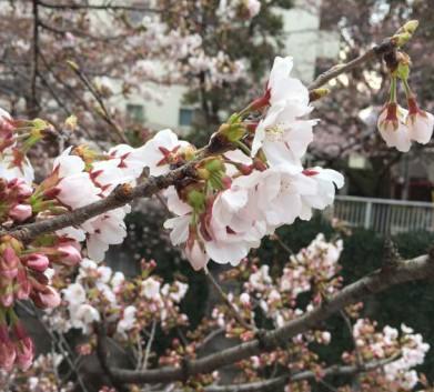 2017年4月3日の東中野神田川の桜6